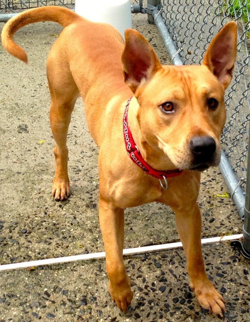 Adopt Wyatt on (With images) Pharaoh hound