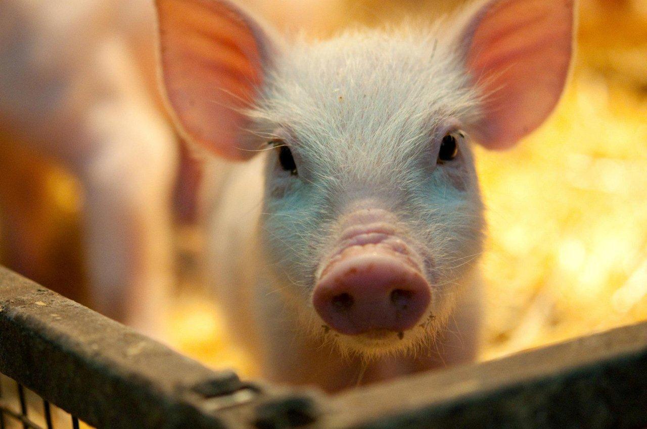 Parties Zoo animals, Animals, Baby piglets