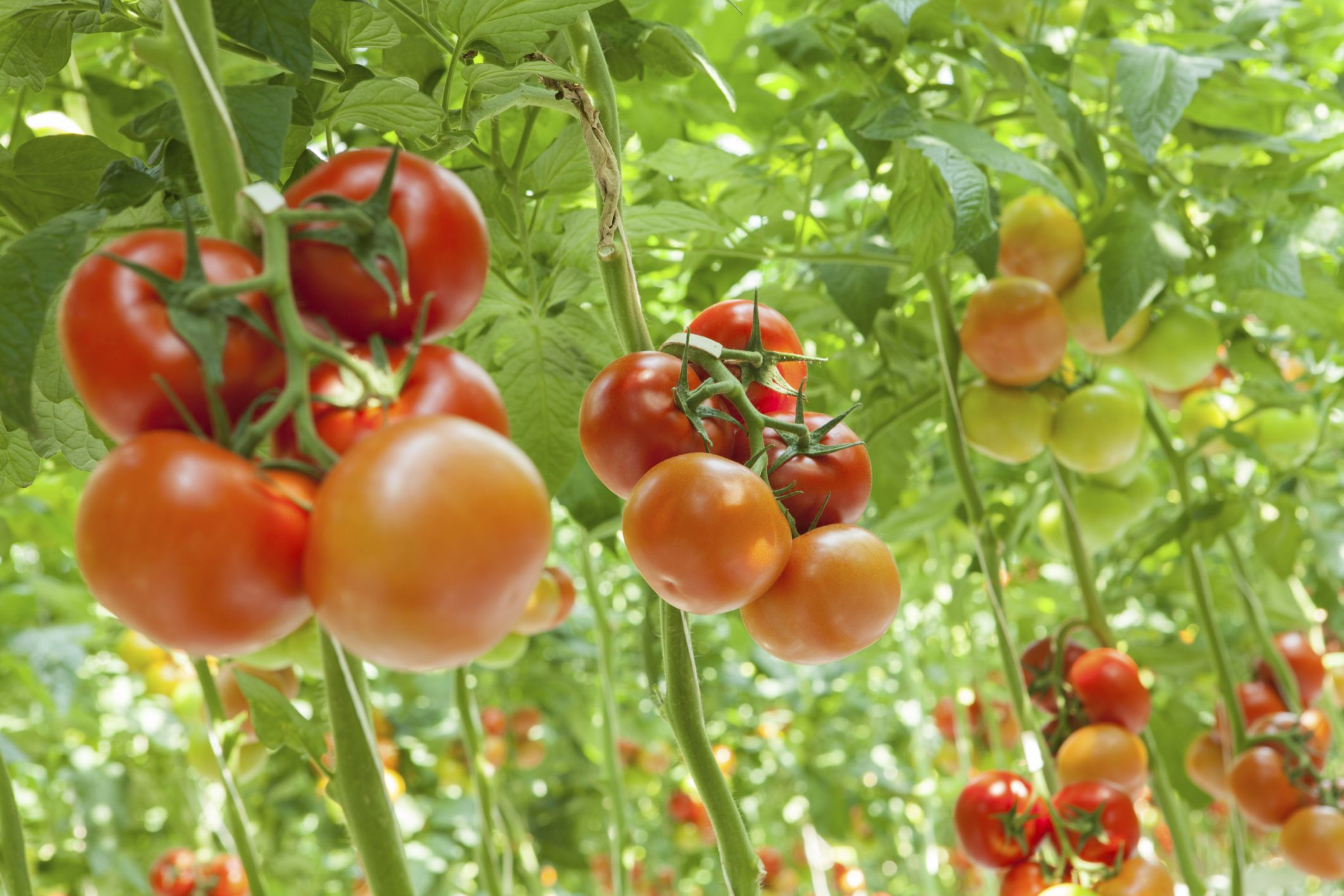 How To Grow Tomatoes In 5 Gallon Buckets With Images 400 x 300