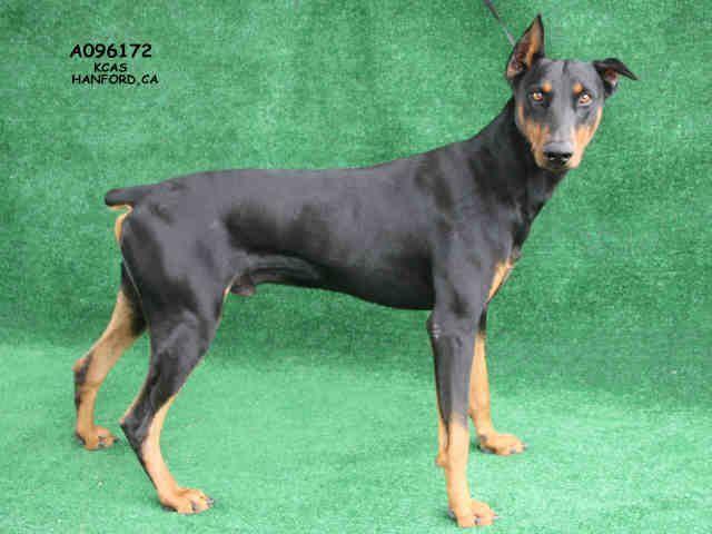 Doberman Pinscher Dog For Adoption In Hanford Ca Adn 717430 On