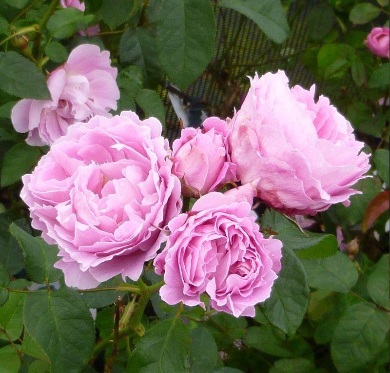 Grow Your Own Wedding Flowers: David Austin English Roses