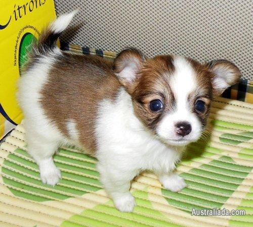 Cute Tea Cup Chihuahua Http Www Australiada Com Cute Tea Cup