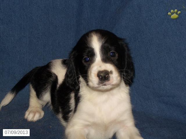 Pixie - English Springer Spaniel Puppy for Sale in McClure, PA - English Springer Spaniel - Puppy for Sale