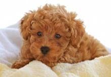 razas de perros pequeños que no crecen - Buscar con Google