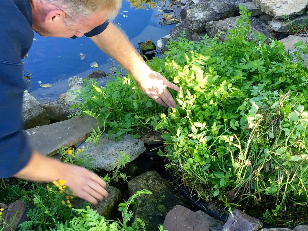 Keep your pond plants under control by trimming them