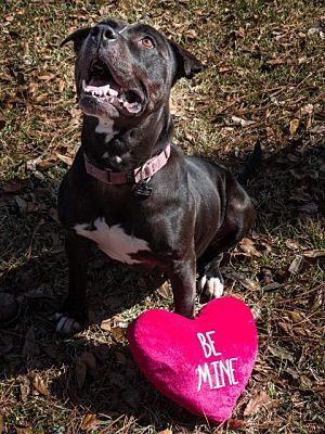 Pictures Of Hershey A American Bulldog For Adoption In Barrington