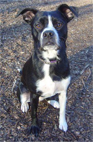 Boston Terrier X Labrador Retriever Lab Mix Puppies Pitbull Terrier Boston Terrier