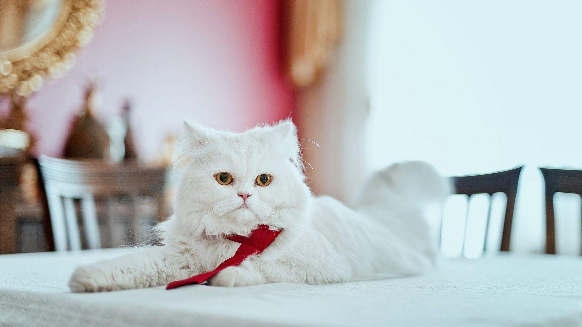 Free high resolution Persian catwallpaper for desktop