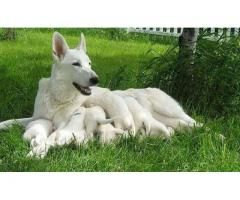 Pure White German Shepherd Puppies Pair Available For Sell White