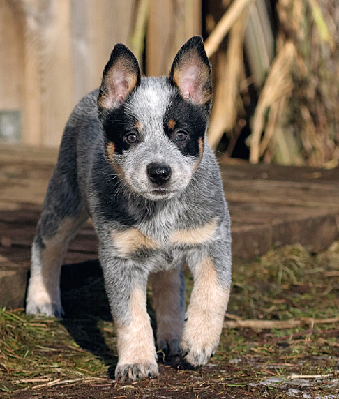 404 Page Cannot Be Found Blue Heeler Dogs Aussie Cattle Dog Cute Animals