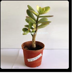 Crula Ovata Jade Plant Succulent Nursery Plants Online In Pune