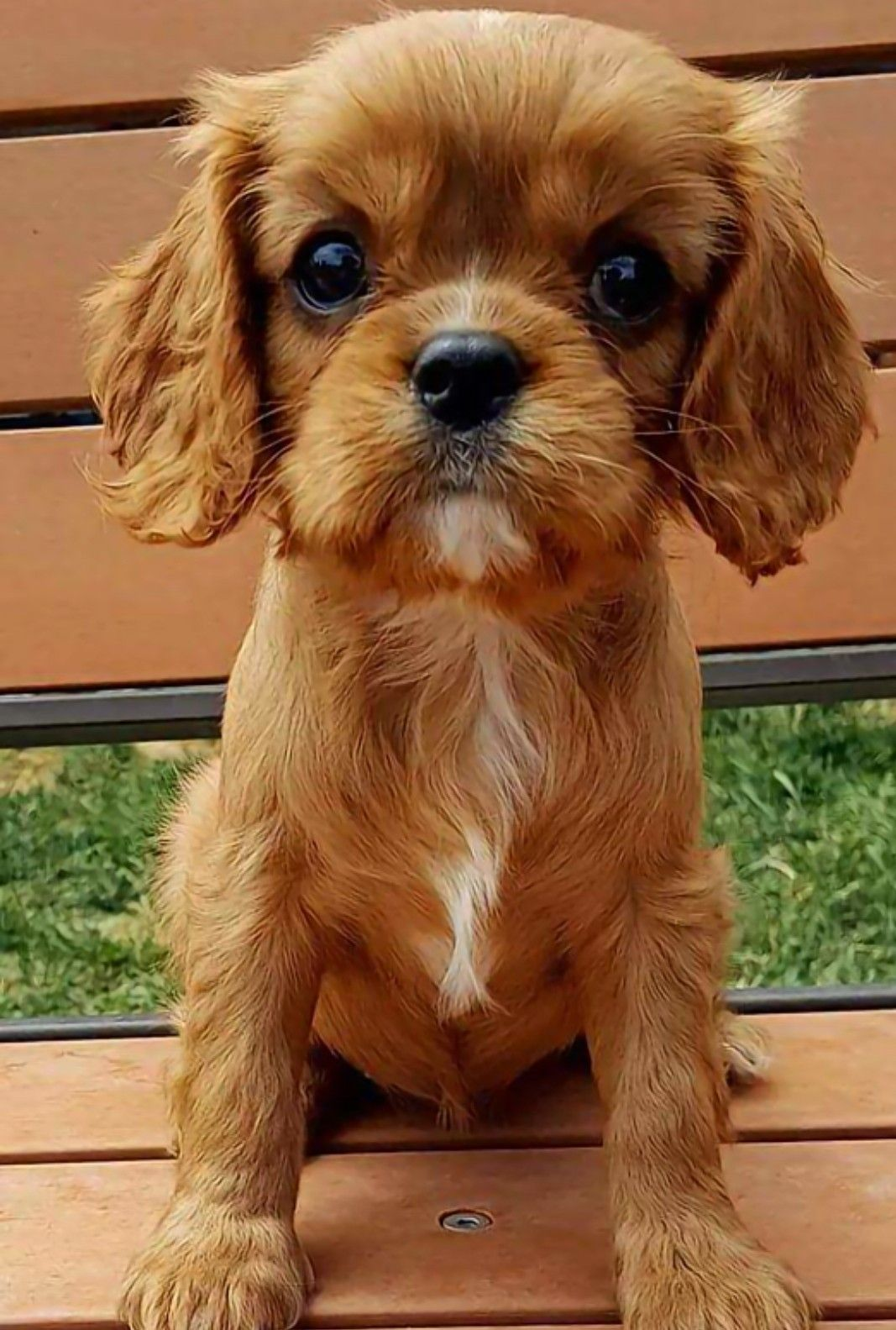 Pin by Julia Barker on doggies!! Cavalier king charles