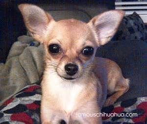To Get A Little Dog Chihuahuas Are A Medium Shedder But
