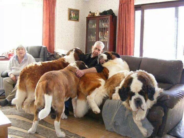 I Would Love A House Full Of Big Dogs St Bernard Dogs Massive