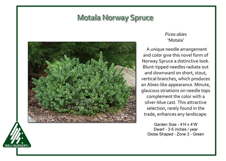 Motala Norway Spruce A unique needle arrangement and color give Picea abies 'Motala'a distinctive look. Blunt-tipped needles radiate out and downward on short, stout, vertical branches, which…