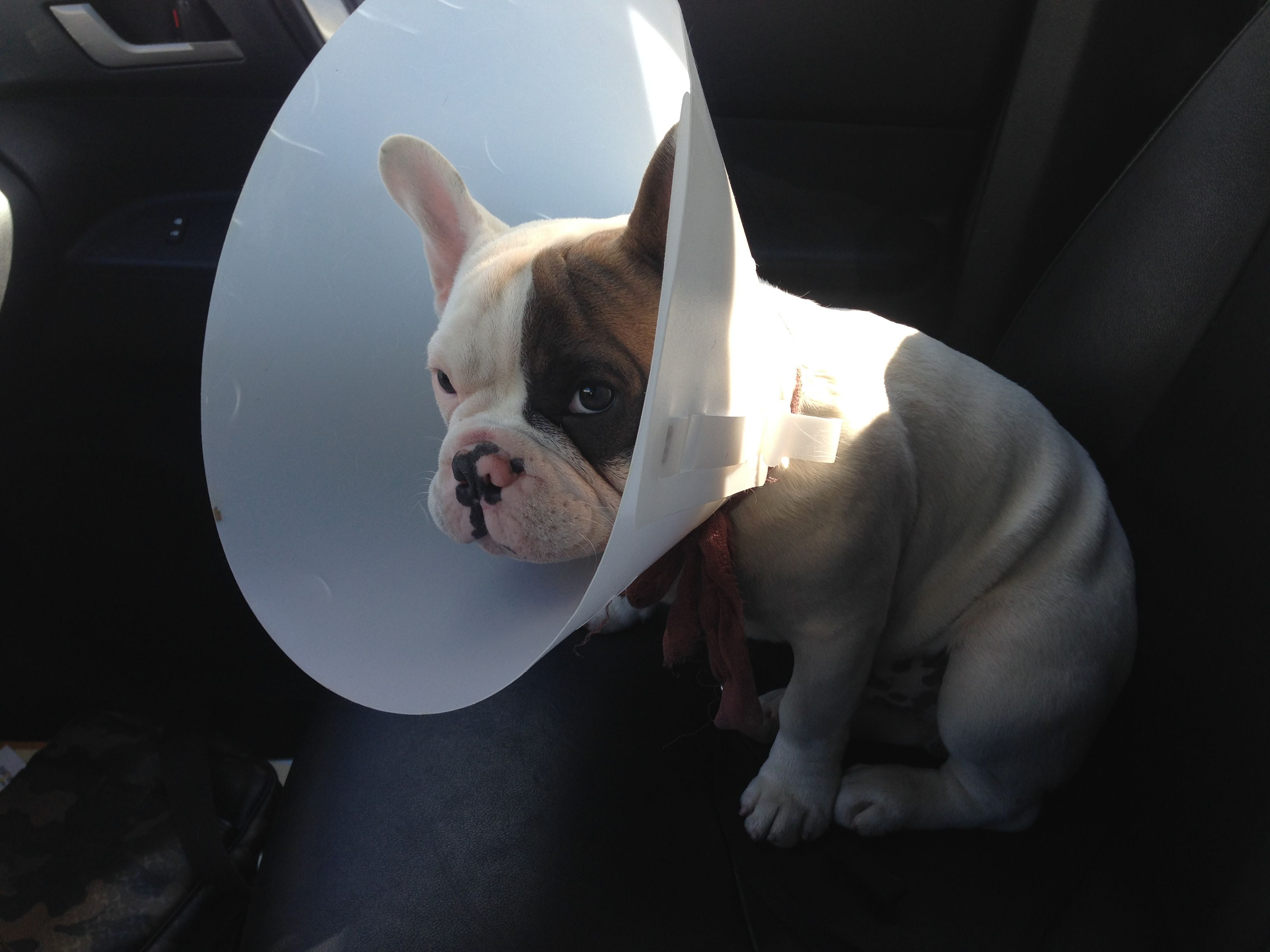 Cone Of Shame Dog Shaming Cone Of Shame Bulldog