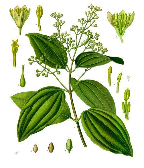 Zimtzucker Heilpflanzen Zahnpulver Pflanzen