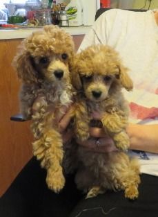 Poodles Smart Active And Proud Teddy Bear Puppies Poodle