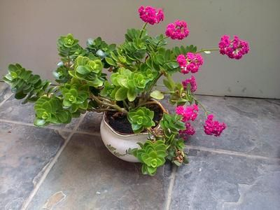 Pink flowered succulent natural beauty pinterest bright pink approx 12 inches high and 12 inch spread with bright pink flower clusters which bloomed just mightylinksfo