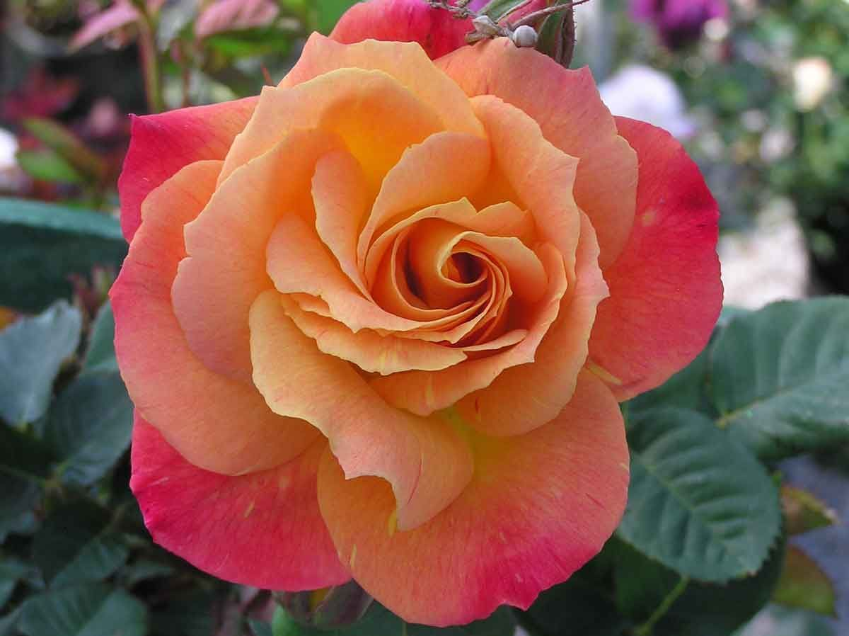 Climbing rose joseph coat this rose change colors as for Color changing roses