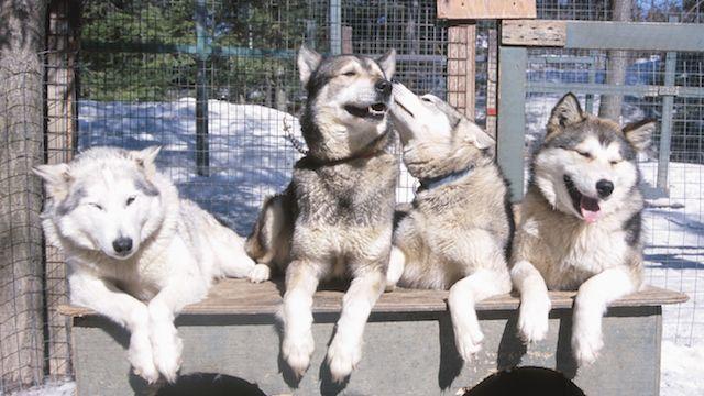 Huskies Husky S Siberian Husky Dog Husky Dogs