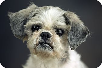 Shih Tzu Dog For Adoption In Anchorage Alaska Bandit Shih Tzu