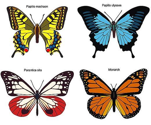 butterfly species general information butterfly inspiration