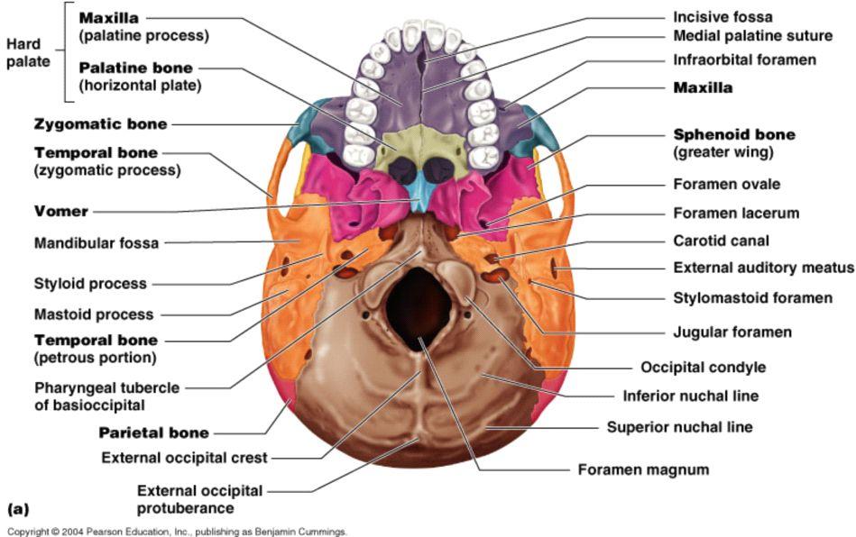 Inferior View - foramina | TEEF TEEF! RDH on my way...Brush-a, Brush ...