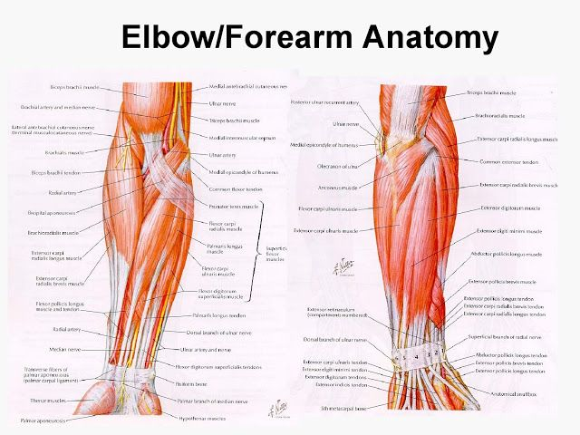 Elbowforearm Anatomy Bodyworks 14 Pinterest Forearm Anatomy