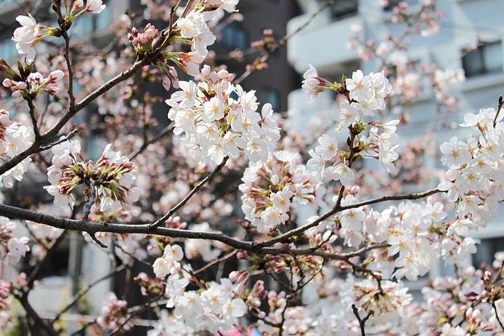 Cherry Blossoms Everywhere Blossom Cherry Blossom Plants