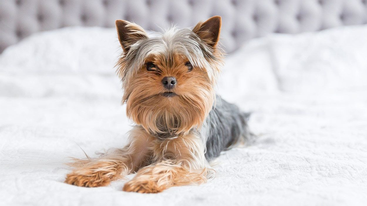 Pin By Edualisse Morales On Cuteness Yorkie Dog Photos Teacup