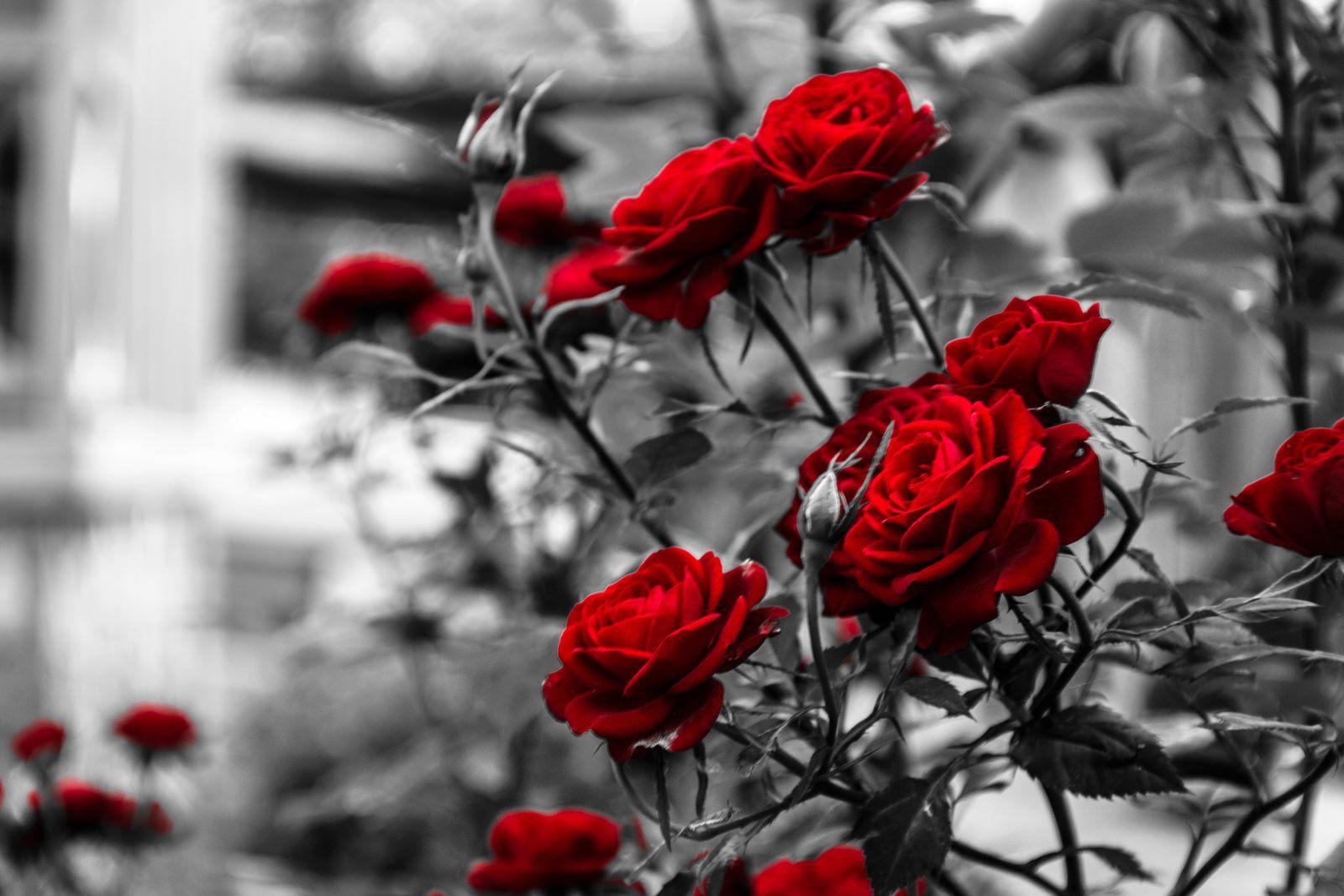 Rosas Rojas Rosas Rosas Rojas Flores