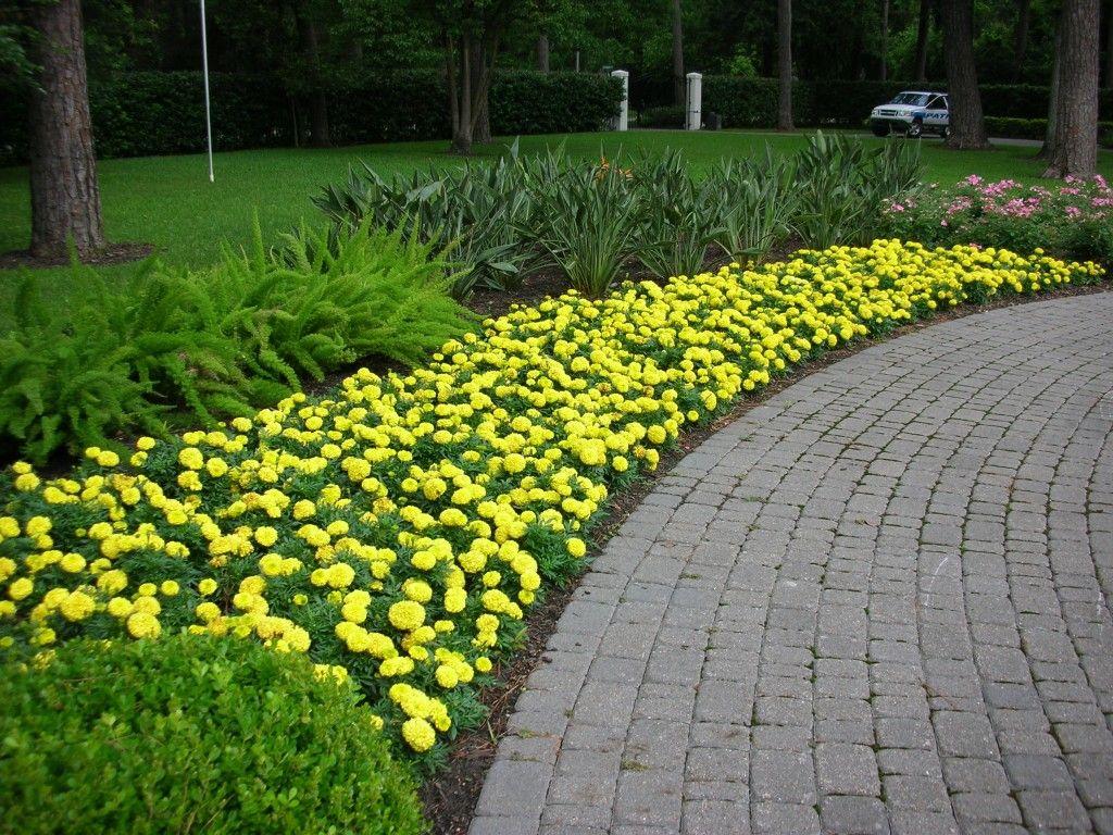 yellow marigold garden border