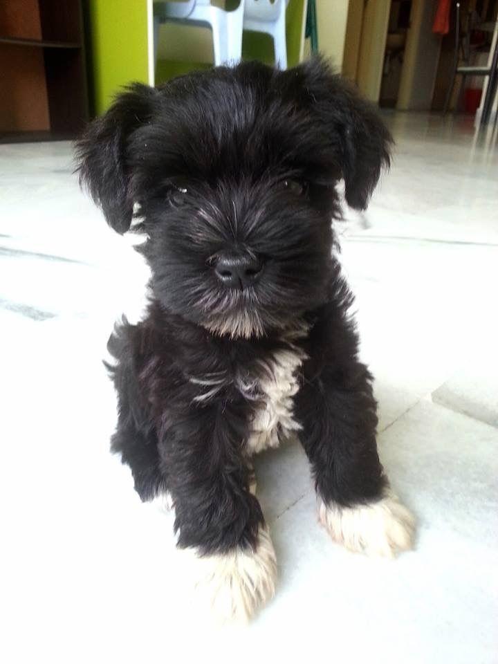 2 Month Old Schnauzer Miniature Schnauzer Schnauzer Puppy Schnauzer