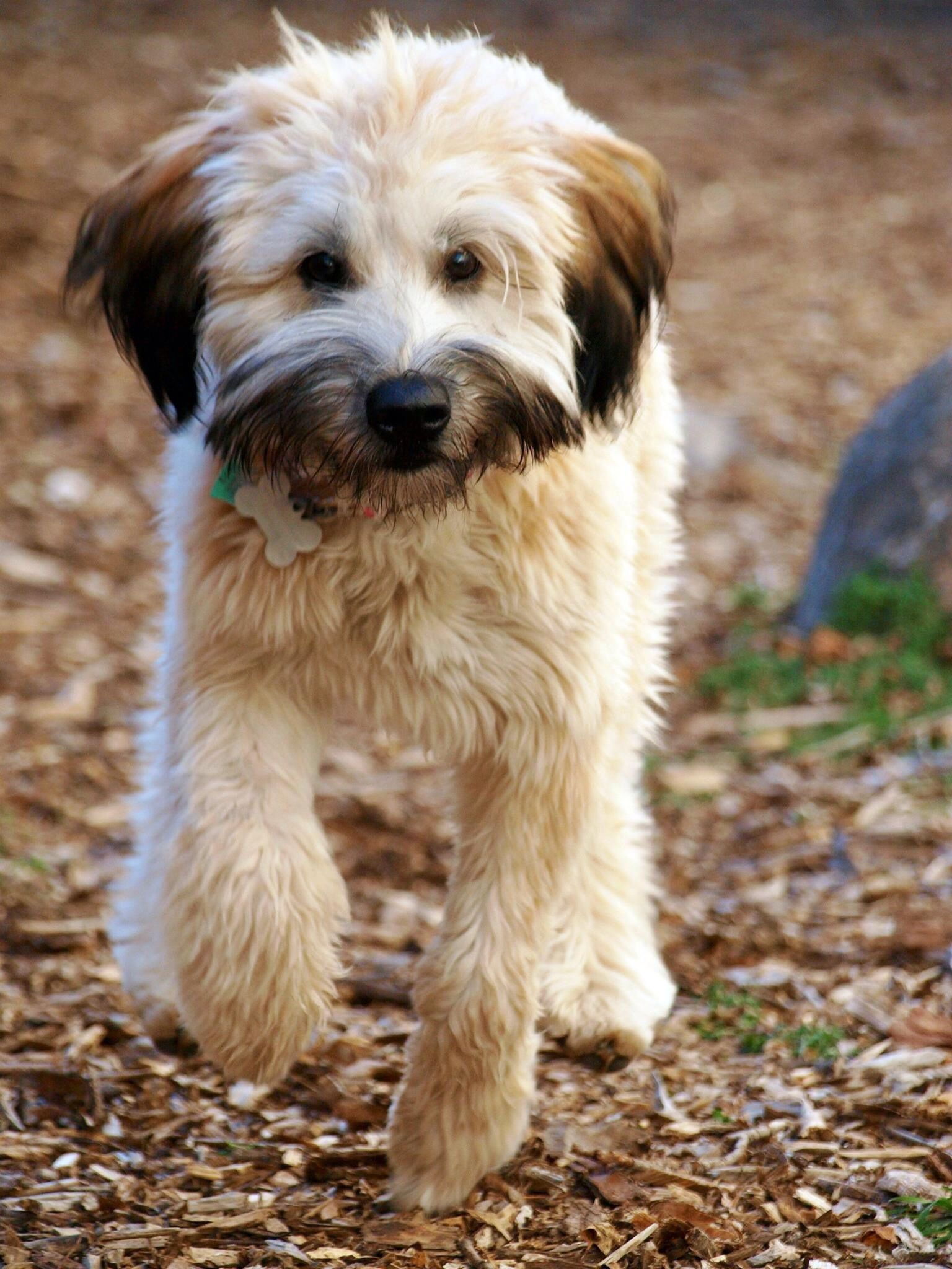 Reilly A 6 Month Old Female Soft Coated Wheaten Terrier