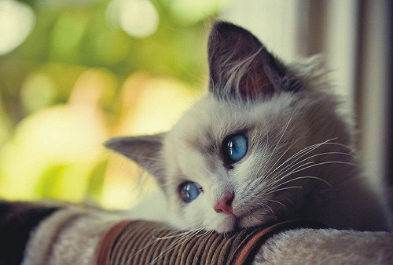 Sad kitten with blue eyes