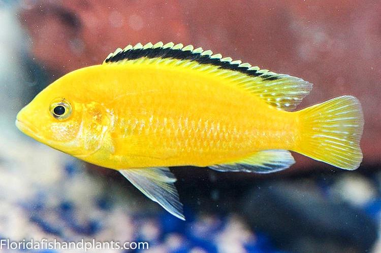 Electric Yellow Labidochromis Caeruleus Mbuna Malawi African Cichlid Tampa Bay Cichlids African Cichlid Aquarium Cichlids African Cichlids