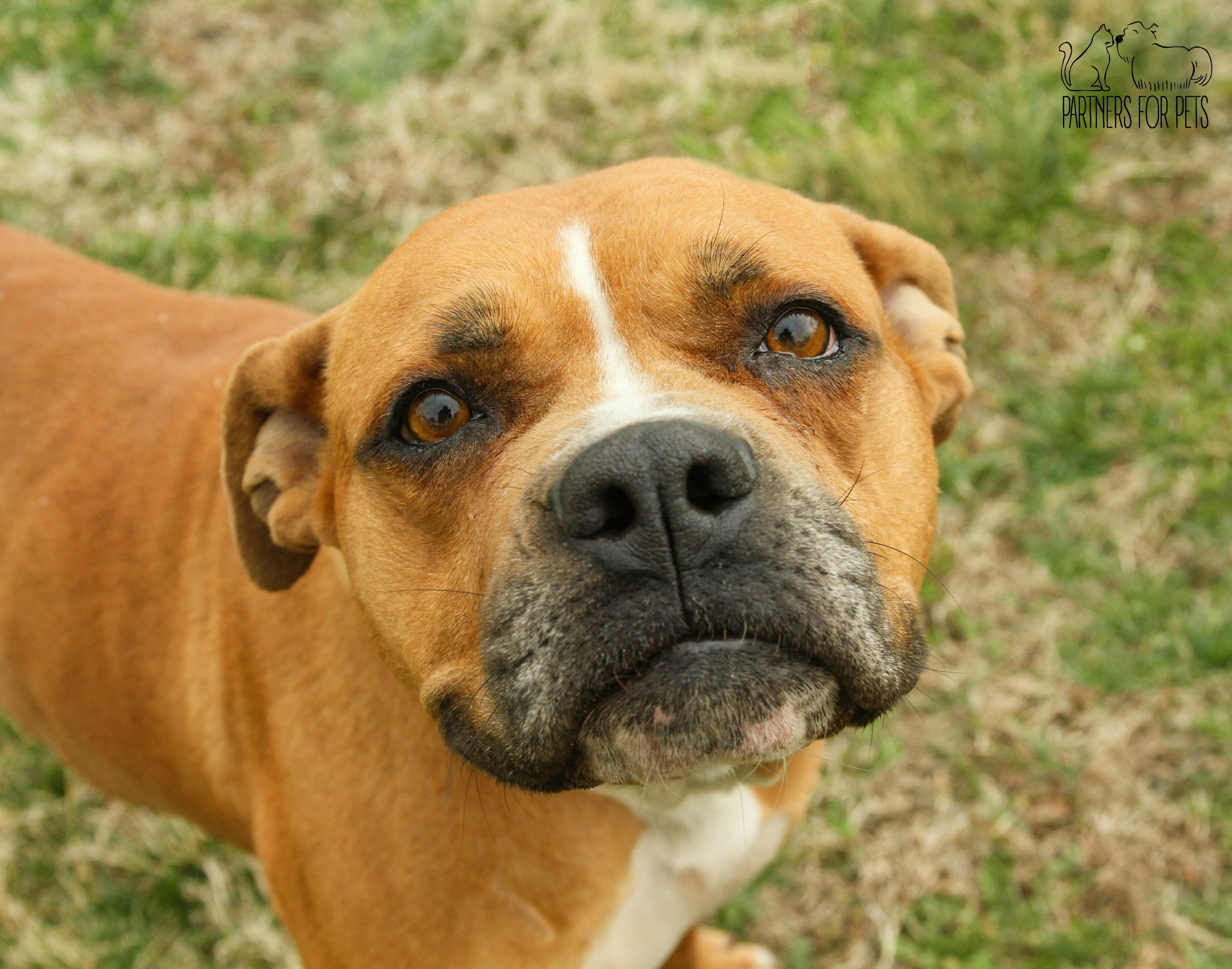 Boxer dog for Adoption in Troy, IL. ADN485311 on