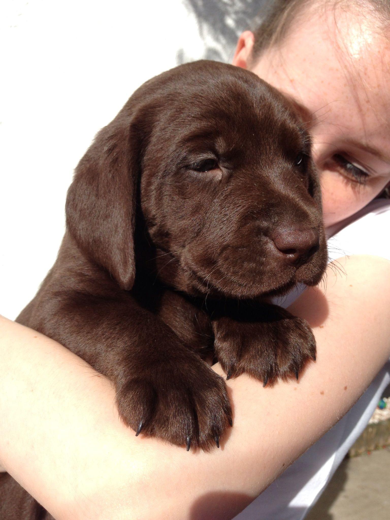 Choc lab pupoy Lab dogs, Cute animals