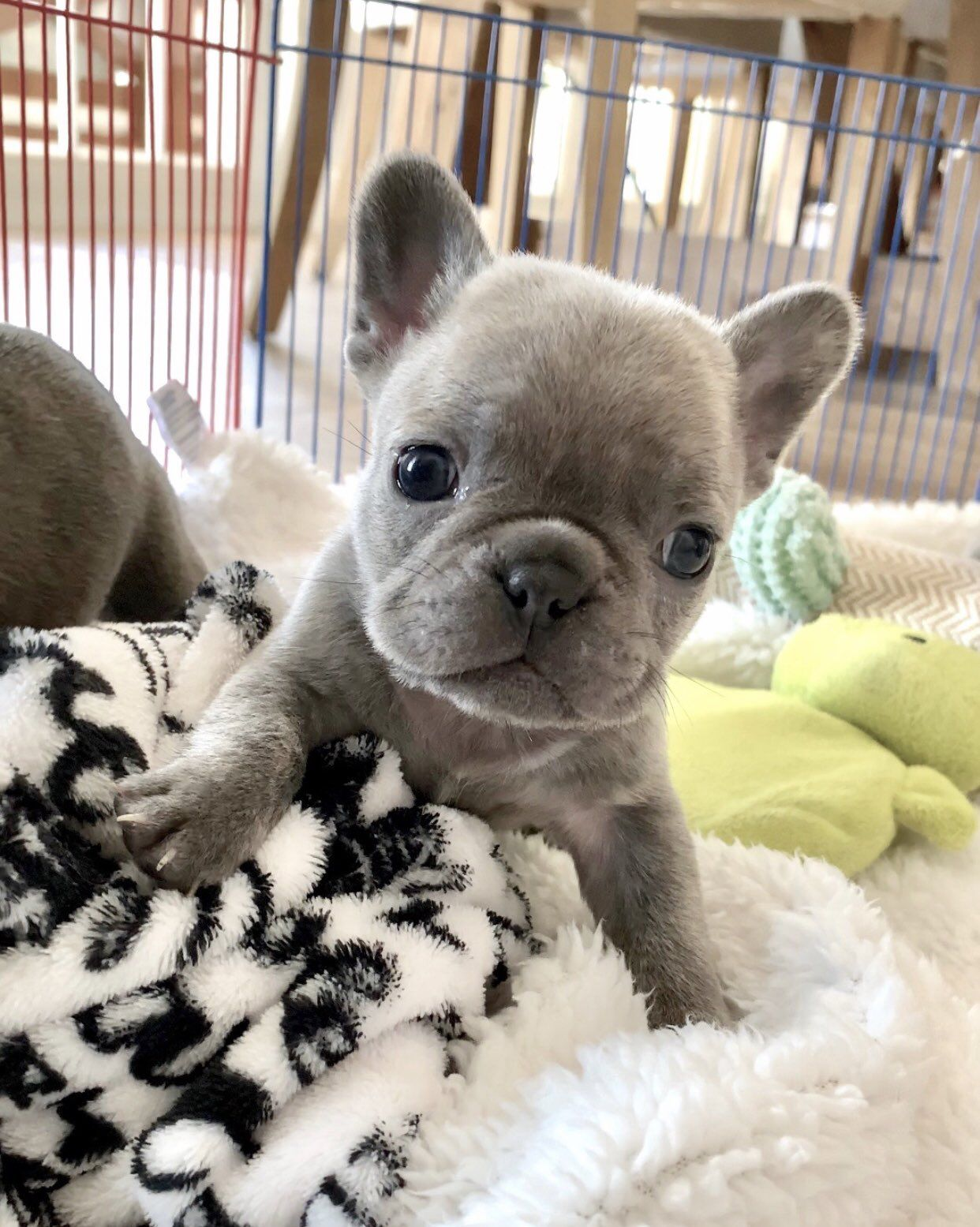 Pin By Paige Dallas On Whittle Baby S Puppy Cuddles French Bulldog Bulldog Puppies