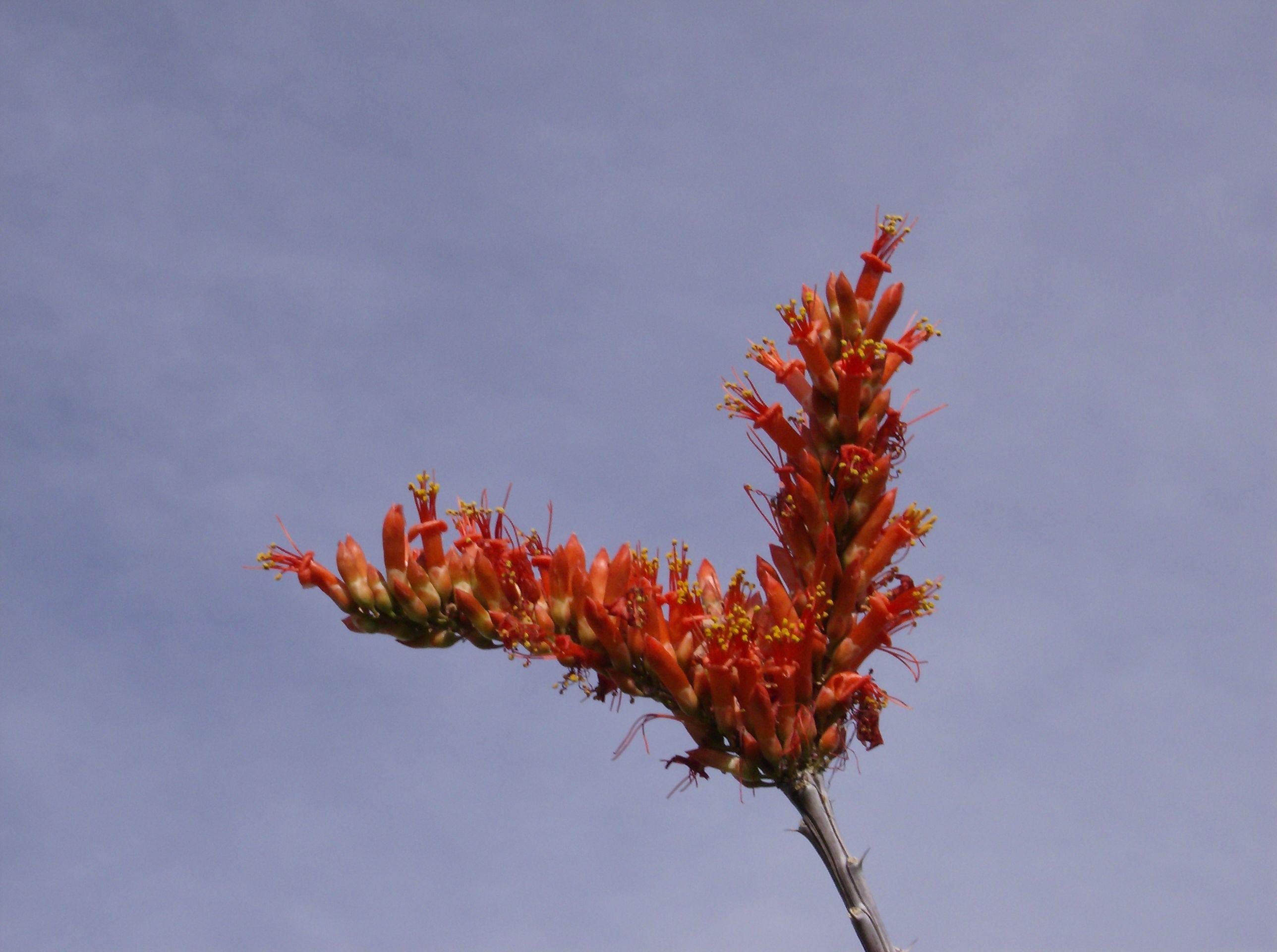 Ocotillo flowering arizona wildflowers spring
