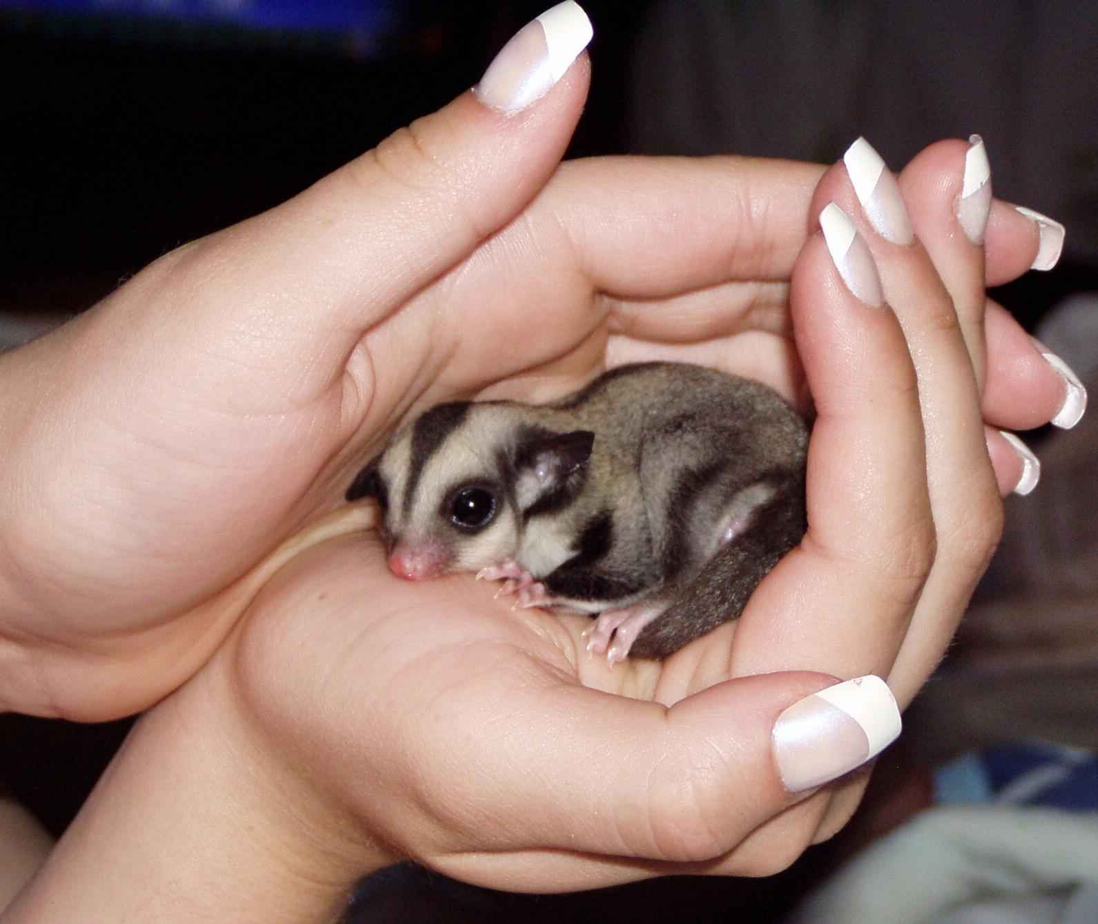 Sugar Gliders Are Marsupials Native To Indonesia And Australia And Derive Their Name From The Ability To Glide Almo Sugar Glider Baby Animals Sugar Glider Baby