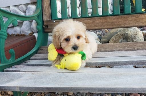 Maltipoo puppy for sale in LOS ANGELES, CA. ADN65655 on