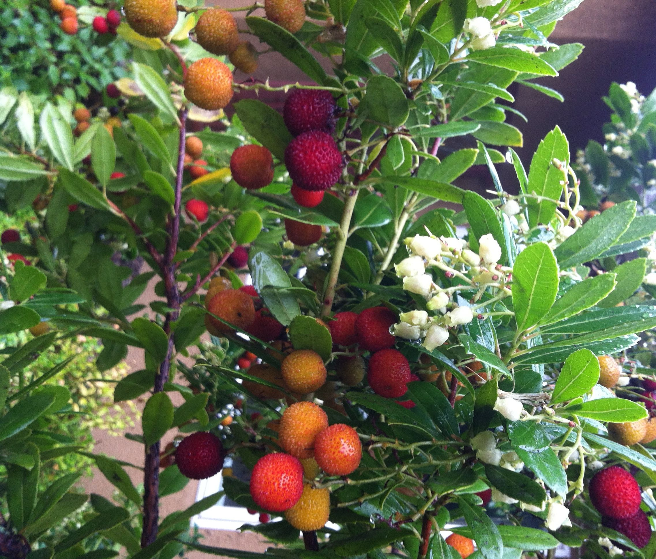 Compact Strawberry Bush - Monrovia - arbutus uneda ...