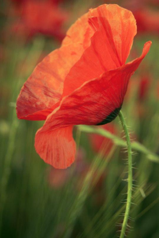 Nourish Your Soul Mohnblume Mohn Blumen