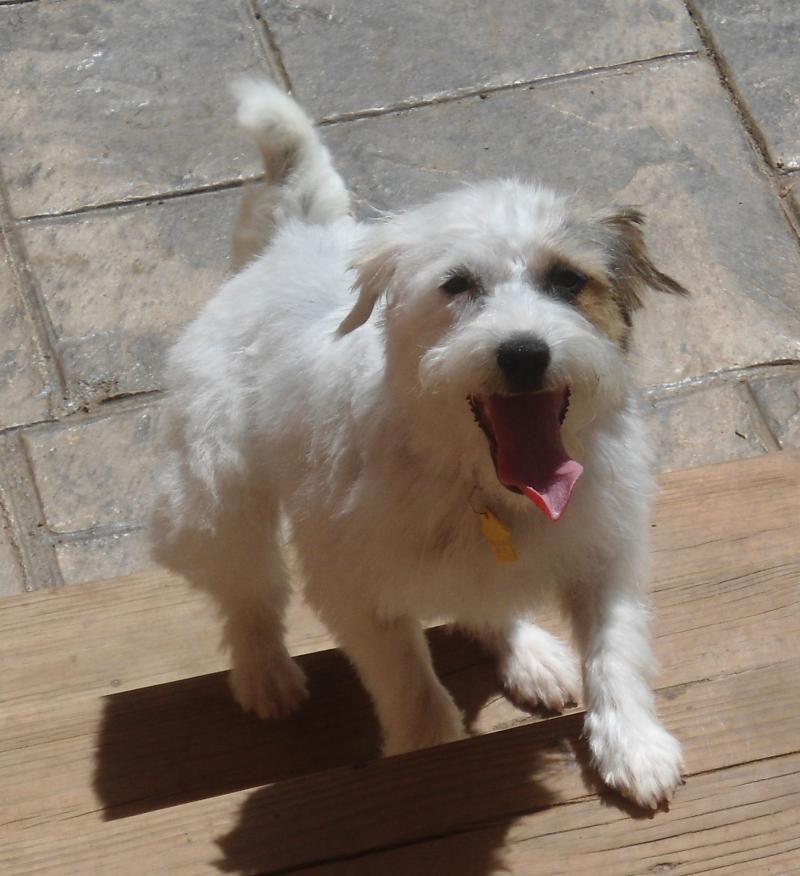 Adopt Stephy On Parson Russell Terrier Terrier Dogs Adoption