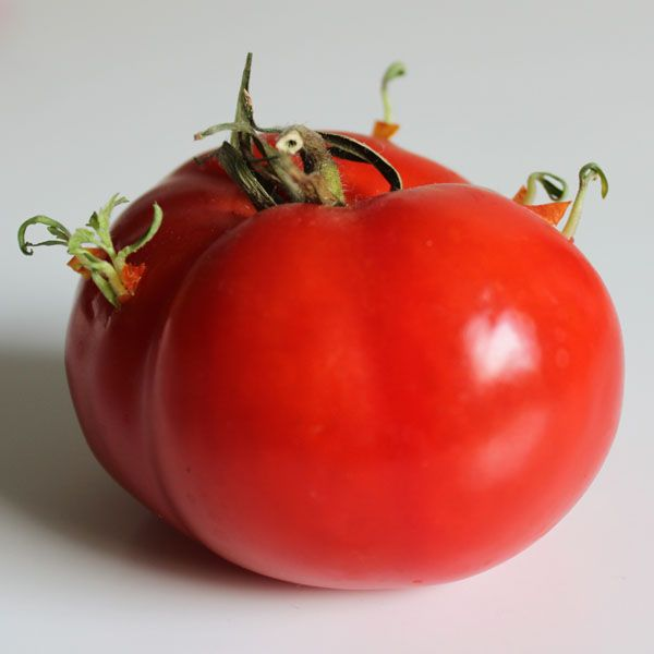 Sprouting tomato plants from a tomato.