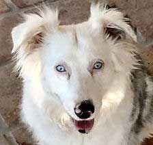 Lethal White Double Merle Or Homozygous Australian Shepherds Australian Shepherd Canine Companions Merle Australian Shepherd