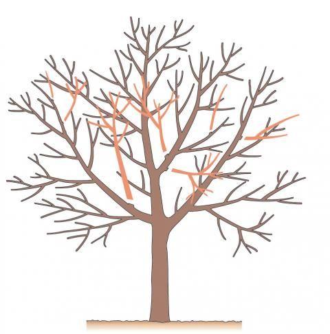 Baumschnitt Die wichtigsten Techniken Gartenarbeit im
