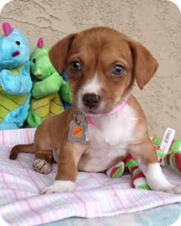 Phoenix Az Corgi Dachshund Mix Meet Victoria A Dog For Adoption Http Www Adoptapet Com Pet 14776867 Phoeni Dog Adoption Corgi Dachshund Kitten Adoption
